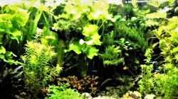 Pflanzen im Aquarium mein kleines Amazonas Becken 2.1