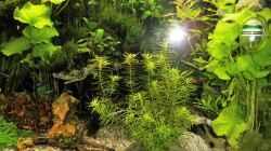 Pflanzen im Aquarium mein kleines Amazonas Scape