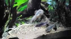 Besatz im Aquarium mein kleines Amazonas Scape