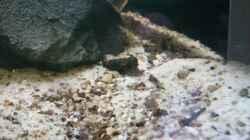 Besatz im Aquarium Brackwasser Paludarium