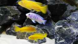 Vorne: Pseudotropheus Saulosi Hinten: Labidochromis Chisumulae