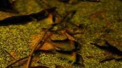 Dekoration im Aquarium Ein Stück Südamerika