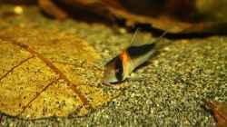 Einer der Corydoras adolfoi