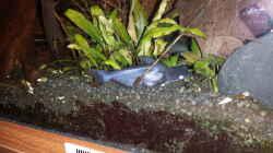 Besatz im Aquarium Kleine Amerika Räuberwelt