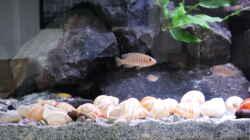 Besatz im Aquarium simileri Reich