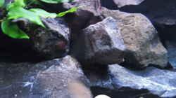Pflanzen im Aquarium simileri Reich