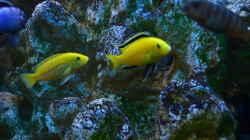 Yellow Bock mit Weibchen