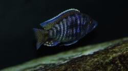 Stigmatochromis spec. modestus eastern