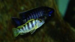 Labidochromis spec. Perlmutt / Aulonocara spec. Lwanda yellow top