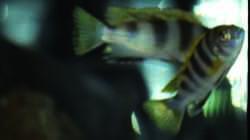 Labidochromis spec. Perlmutt