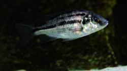 Besatz im Aquarium Geröllzone Malawi See