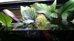 Pflanzen im Aquarium Channa Home (nur noch als Beispiel)