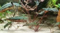 Eine schöne rötliche Vordergrund Pflanze