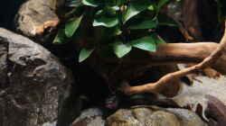pelvicachromis sacrimontis `male`