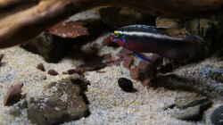 Besatz im Aquarium Kongo River