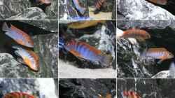 Besatz im Aquarium Mbuna reef