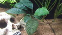 Anubias barteri var. coffeifolia (Kaffeeblättriges Speerblatt)