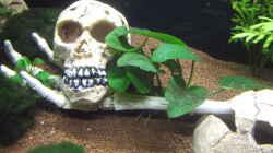 Anubias barteri var. caladiifolia (Caladium-blättriges Speerblatt)
