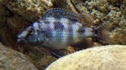 Placidochromis milomo färbt gerade...