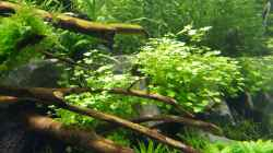 Pflanzen im Aquarium Naturaquarium Aquascape