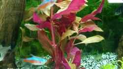 kleines Papageienblatt