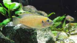 Besatz im Aquarium Paul´s Tanganjika Aquarium