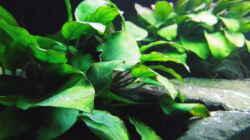 Pflanzen im Aquarium Paul´s Tanganjika Aquarium