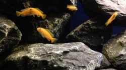 Besatz im Aquarium Das erste mal Malawi