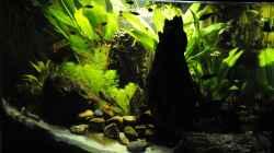 Dekoration im Aquarium Biotodoma / Geophagus cupido im grünen Juwel