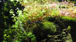 Pflanzen im Aquarium Biotodoma / Geophagus cupido im grünen Juwel
