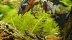 Besatz im Aquarium Biotodoma / Geophagus cupido im grünen Juwel