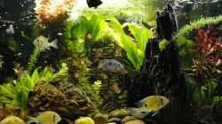 Aquarium Biotodoma / Geophagus cupido im grünen Juwel