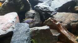 Besatz im Aquarium Malawi Rockzone