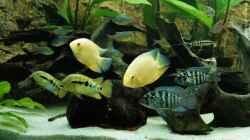 Besatz im Aquarium Mittel-, Südamerika Trigon 350