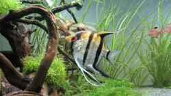 Skalarmännchen mit Gelege