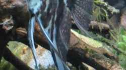 Kleines Skalarmännchen