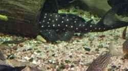 Besatz im Aquarium Altum Traum