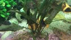 Pflanzen im Aquarium Altum Traum