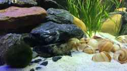 Besatz im Aquarium Mein 1. Tanganjikasee-Becken