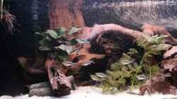 Besatz im Aquarium Panaqolus Heaven