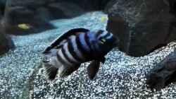 Besatz im Aquarium Becken 32694