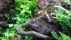 Besatz im Aquarium Gesellschaftsbecken
