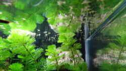 Blütenstielloser Sumpffreund + Wasserlinse