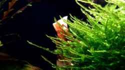 Pflanzen im Aquarium Bucetank