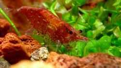 Besatz im Aquarium Bucetank