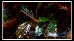 Pflanzen im Aquarium Bucephalandra Pfütze