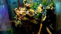 Aquarium Bucephalandra Pfütze