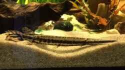 Besatz im Aquarium Baby Knochenhechte