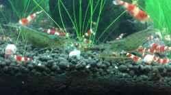 Besatz im Aquarium Garnelen Cube
