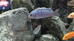 Besatz im Aquarium Voralpen Afrika